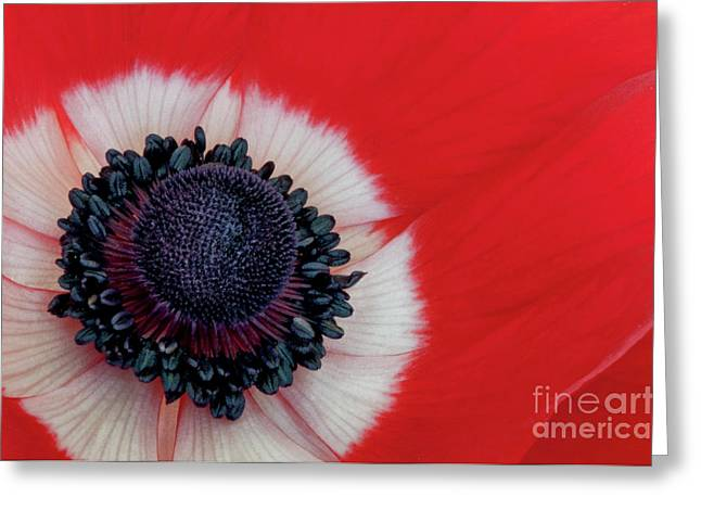 Angelini Greeting Cards - Red and White Anemone visit www.AngeliniPhoto.com for more Greeting Card by Mary Angelini