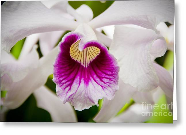 Recently Sold -  - Close Focus Floral Greeting Cards - Red and White Orchid Greeting Card by Oscar Gutierrez