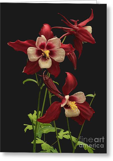 Columbine Greeting Cards - Red and White Greeting Card by Robert Pilkington