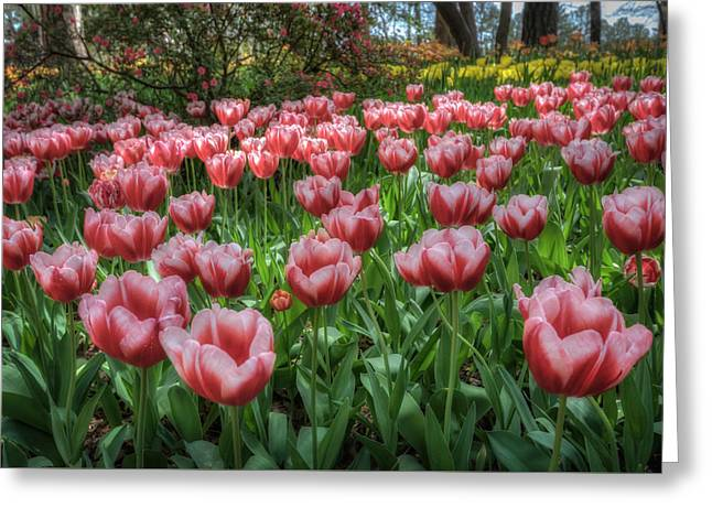 James Barber Greeting Cards - Red and White Tulips Greeting Card by James Barber