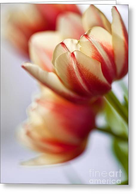 Red And White Tulips Greeting Card by Nailia Schwarz