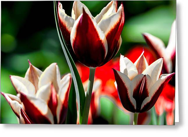 White Pyrography Greeting Cards - Red And White Tulips Greeting Card by Olga Photography