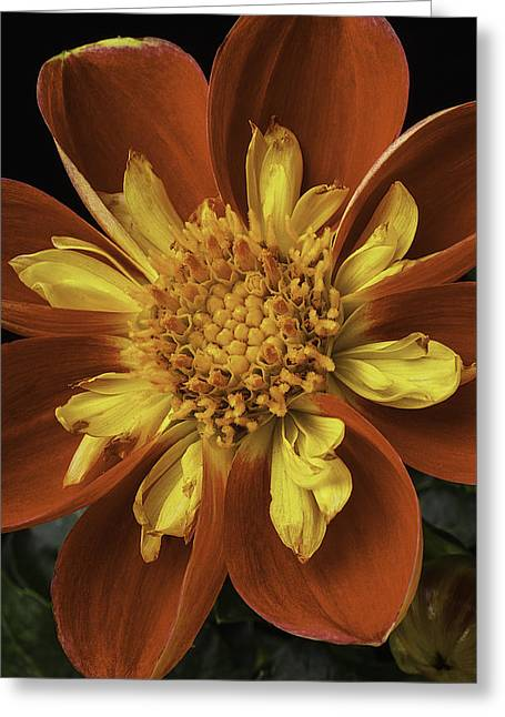 Harlequin Greeting Cards - Red And Yellow Dahlia Greeting Card by Garry Gay