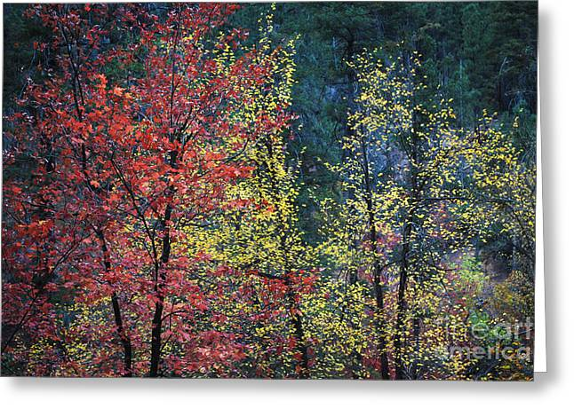 West Fork Greeting Cards - Red and Yellow Leaves Abstract Horizontal Number 1 Greeting Card by Heather Kirk
