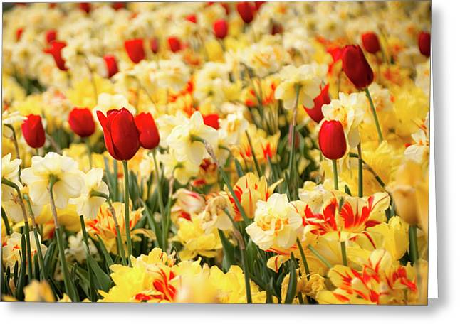 Red And Yellow Greeting Card by Tamyra Ayles