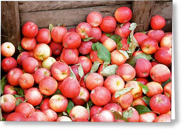 Red Apples Greeting Card by Art Spectrum