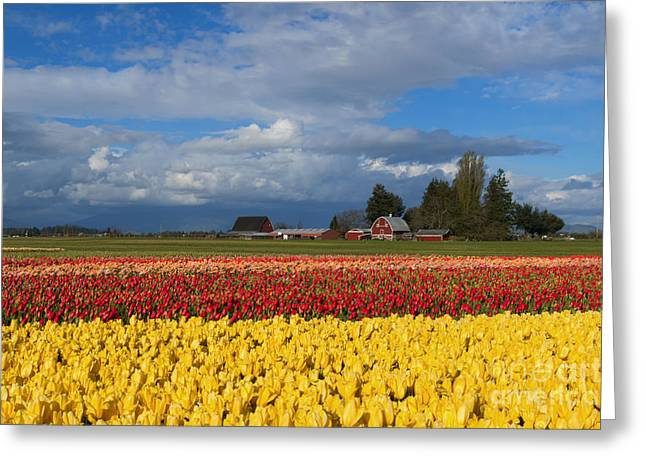 Red Barn Greeting Cards - Red Barn Tulip Farm Greeting Card by Mike Dawson