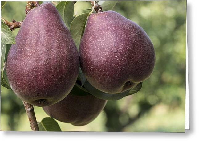 Fruit Tree Art Greeting Cards - Red Bartlett pears on the tree Greeting Card by John Trax