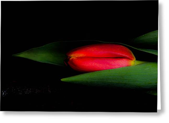 Blank Greeting Cards Mixed Media Greeting Cards - Red beautiful harmonious tulip Greeting Card by Toppart Sweden