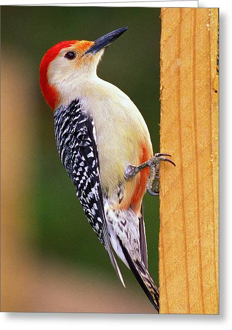Woodpeckers Greeting Cards - Red Bellied on Post Greeting Card by Alan Lenk