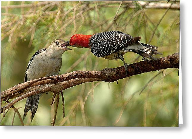 Red Bellied Woodpeck feeding young Greeting Card by Alan Lenk