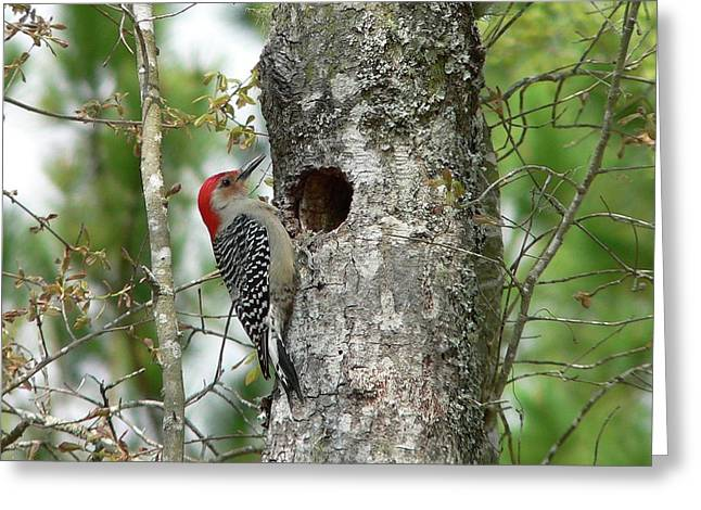 Al Powell Photography Usa Greeting Cards - Red-bellied Woodpecker 01 Greeting Card by Al Powell Photography USA