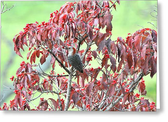Feeding Birds Photographs Greeting Cards - Red Bellied Woodpecker in Dogwood Greeting Card by Alan Lenk