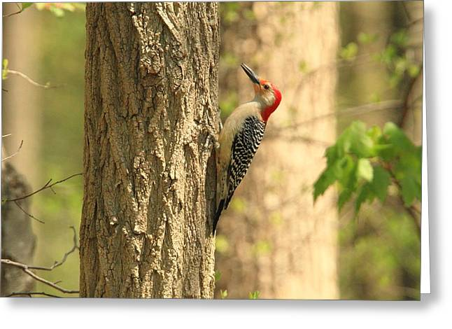 Landscape Posters Greeting Cards - Red Belly Woodpecker Greeting Card by Geraldine Scull