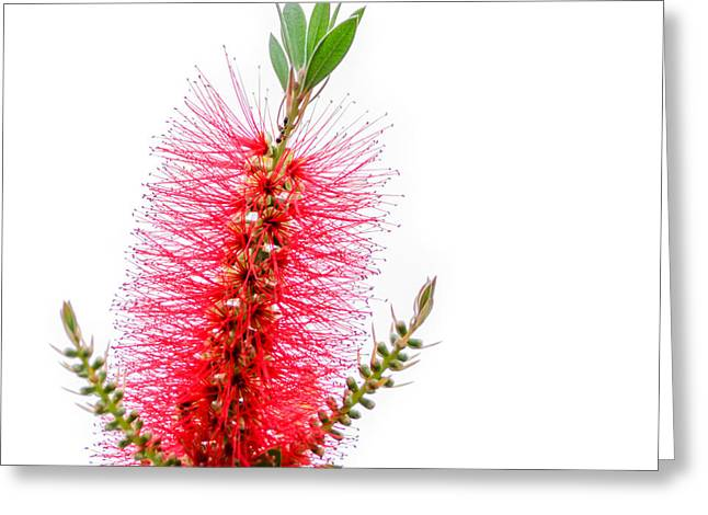 Square Format Greeting Cards - Red Bottle Brush Against An Overcast Sky Greeting Card by Debra Martz
