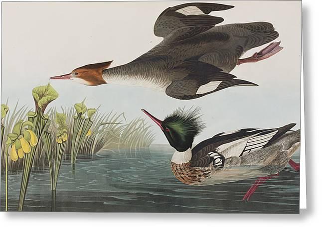 Breeds Greeting Cards - Red-breasted Merganser Greeting Card by John James Audubon