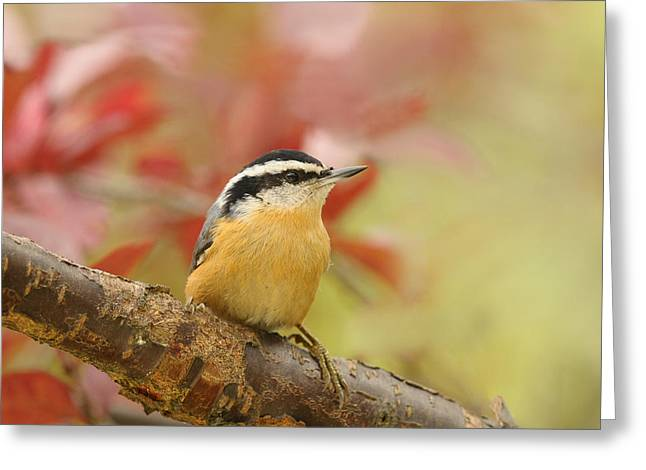 Red Breasted Nuthatch  Greeting Card by Lara Ellis