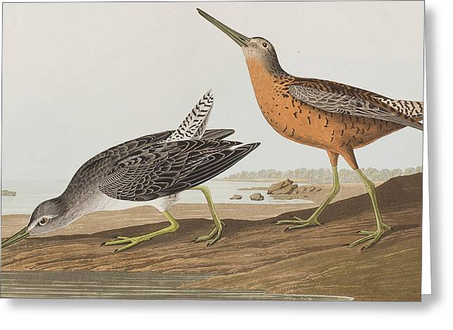 Breeds Greeting Cards - Red-breasted Snipe Greeting Card by John James Audubon