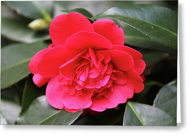 Red Camellia Greeting Card by Dean  Triolo