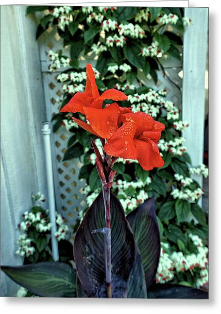 Red Canna Lilies 1 Greeting Card by John Trommer