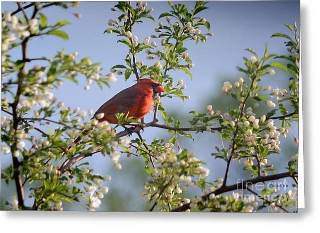 Arkansas Greeting Cards - Red Cardinal Flowering Tree Greeting Card by Nava  Thompson