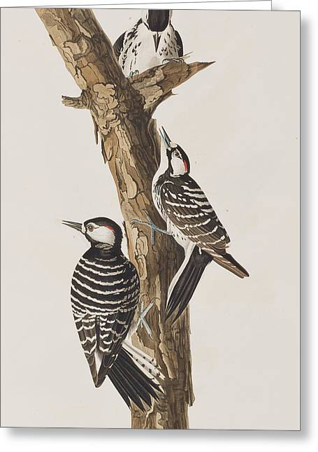 Woodpecker Greeting Cards - Red-Cockaded Woodpecker Greeting Card by John James Audubon