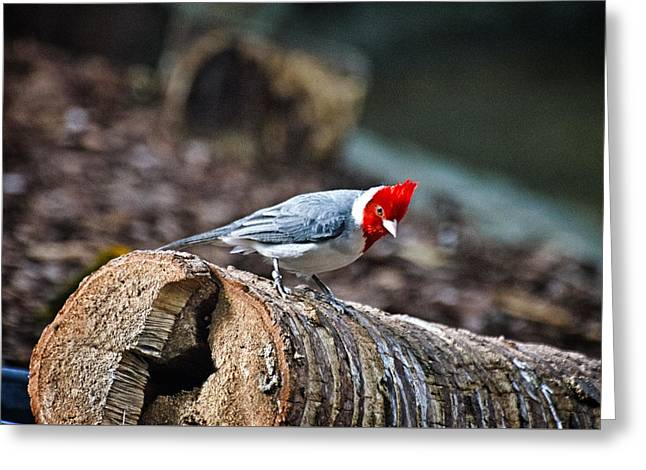 Red Creasted Cardinal Greeting Card by Cheryl Cencich