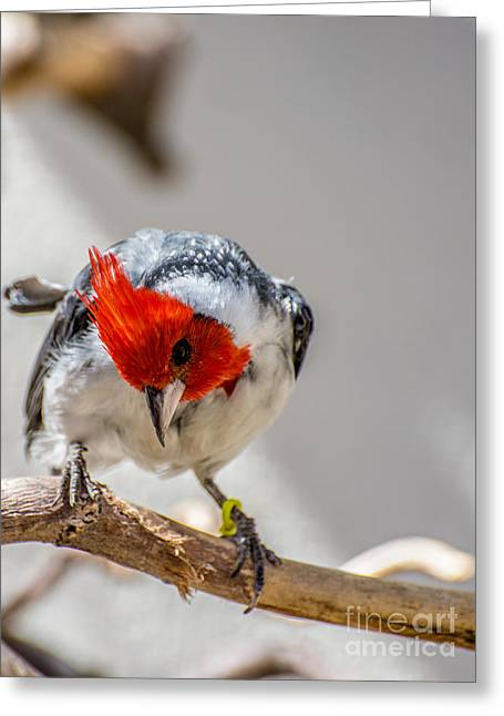 Red Crest Greeting Cards - Red-crested Cardinal  Greeting Card by Gary Whitton