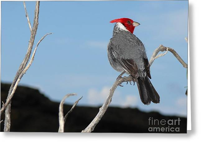 Red Crest Greeting Cards - Red Crested Cardinal HI Greeting Card by Sean Cupp