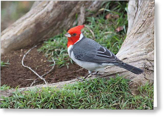 Red Crest Greeting Cards - Red Crested Cardinal Male Greeting Card by Lauri Novak