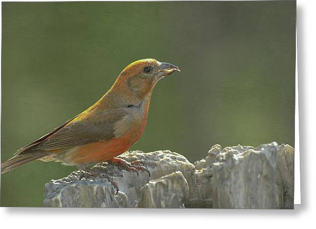 Red Crossbill Greeting Card by Constance Puttkemery
