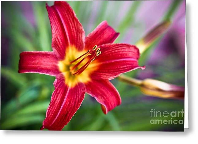 Mp-e65 Greeting Cards - Red Daylily Greeting Card by Ryan Kelly