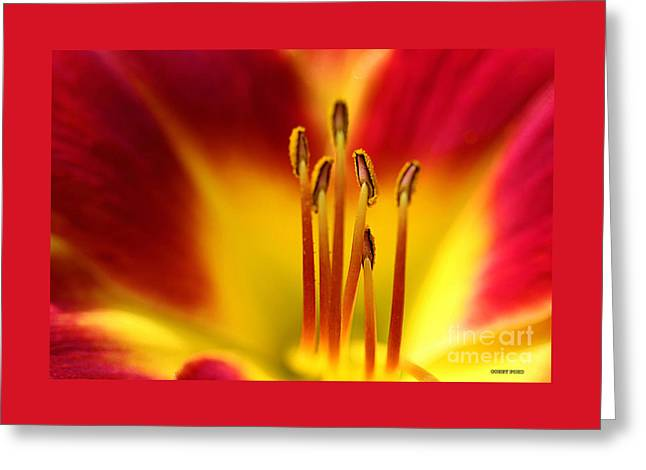 Red Daylily Stamens Greeting Card by Corey Ford