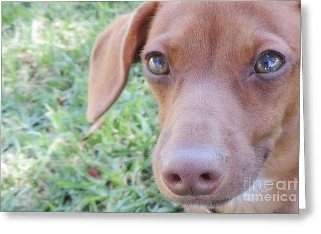 Puppies Photographs Greeting Cards - Red Dilute Dachshund Puppy Greeting Card by Leah McPhail