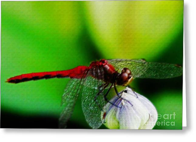Dragonflies Pastels Greeting Cards - Red Dragonfly 3 Greeting Card by Don Baker