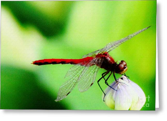 Dragonflies Pastels Greeting Cards - Red Dragonfly II Greeting Card by Don Baker