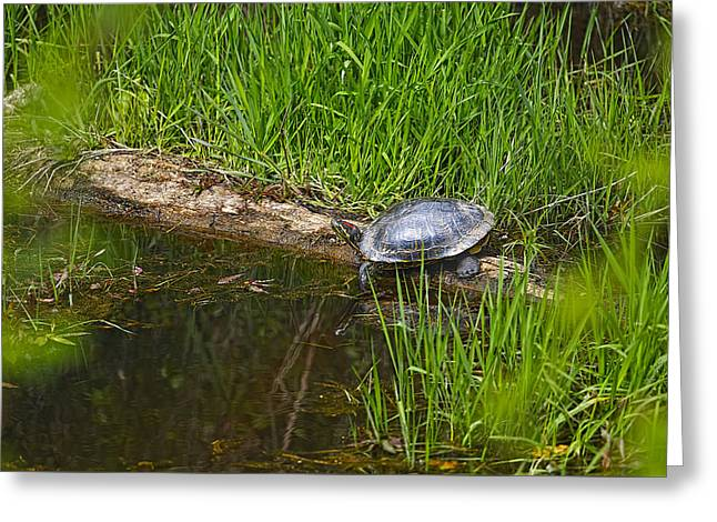 Red-eared Greeting Cards - Red Eared Slider on a Log 2 Greeting Card by Sharon  Talson