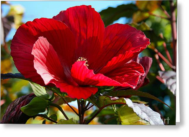 Coastal Maine Greeting Cards - Red Elephant Rose Mallow Greeting Card by Sandra  Huston