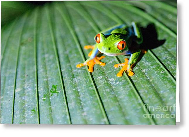 Nocturnal Animal Print Greeting Cards - Red Eyed Frog close up Greeting Card by Matteo Colombo