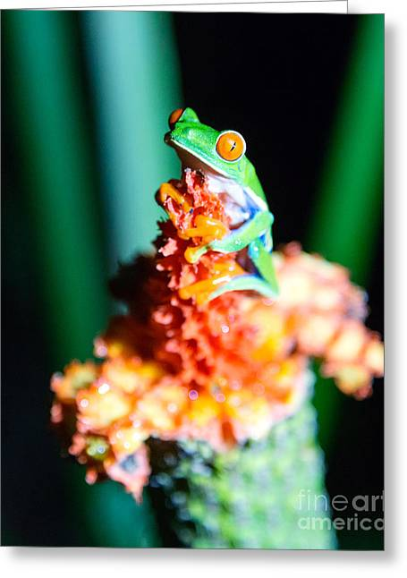 Nocturnal Animal Print Greeting Cards - Red-eyed frog macro - Costa Rica Greeting Card by Matteo Colombo