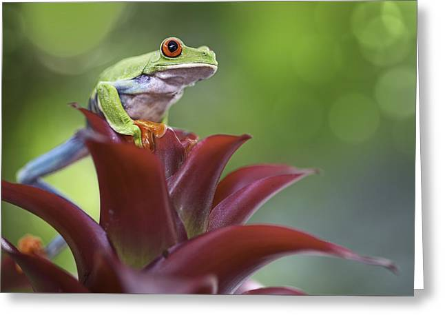 Tree Frog Greeting Cards - red eyed tree frog Costa Rica forest Greeting Card by Dirk Ercken