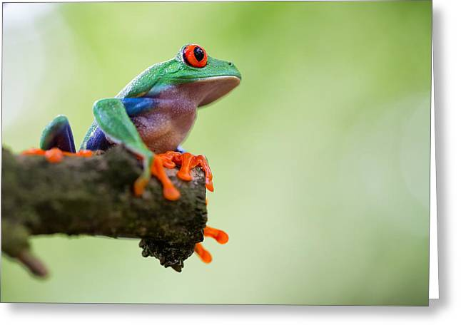 Tree Frog Greeting Cards - Red Eyed Tree Frog Sitting Greeting Card by Dirk Ercken