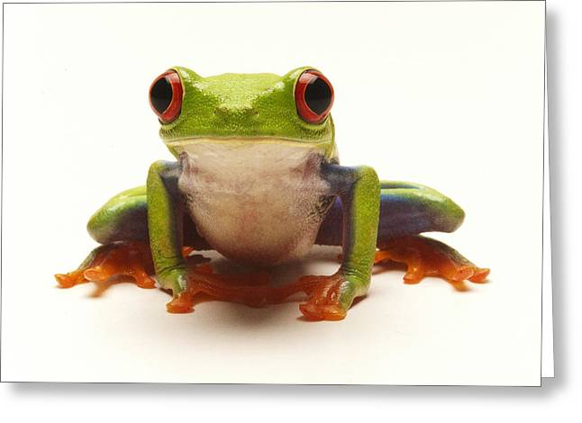 Tree Frog Greeting Cards - Red-eyed Tree Frog Greeting Card by Steve Williams