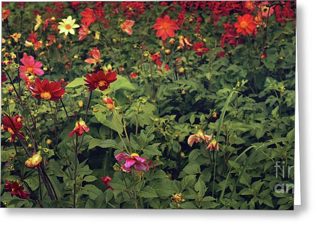 Red Flowers Field Greeting Card by Svetlana Sewell