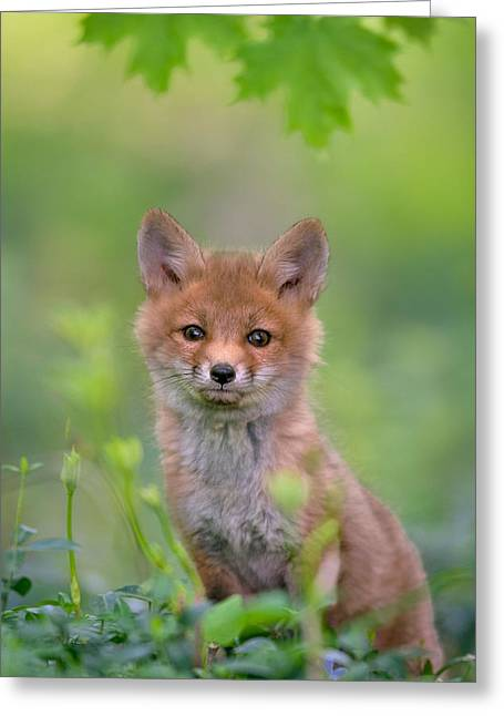 Red Foxes Greeting Cards - Red Fox Pup Greeting Card by Nick Kalathas