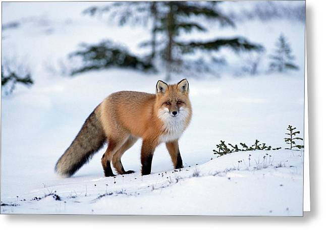 Red Fox Vulpes Vulpes Portrait Greeting Card by Konrad Wothe