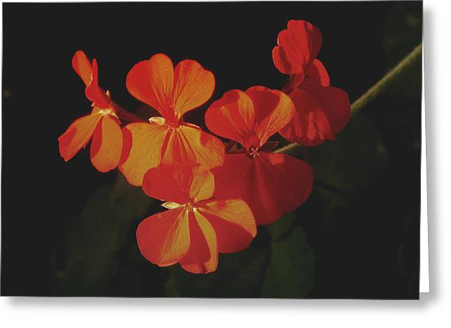 Red Geraniums Greeting Cards - Red Geranium Greeting Card by Kathy Franklin
