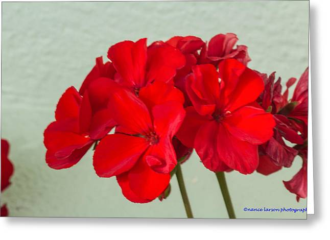 Red Geraniums Greeting Cards - Red Geranium Greeting Card by Nance Larson