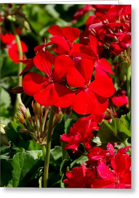 Red Geraniums Greeting Cards - Red Geraniums 02 Greeting Card by Cynthia Woods