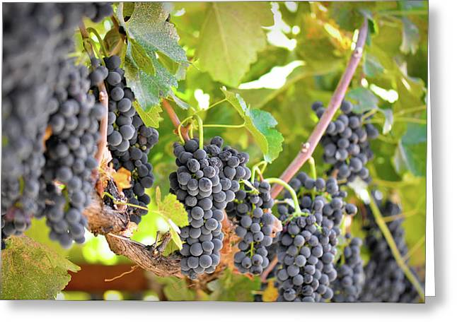 Grapevine Red Leaf Photographs Greeting Cards - Red Grapes Greeting Card by Brandon Bourdages
